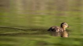 Mallard duckling, Algonquin Island, Toronto islands