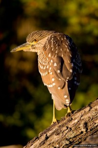 Juvenile night heron, Algonquin Island, Toronto Islands