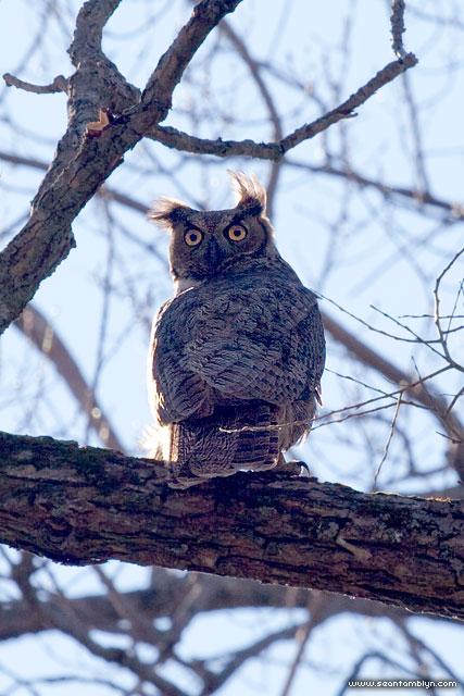 Great horned owl, Snake Island, Toronto Islands
