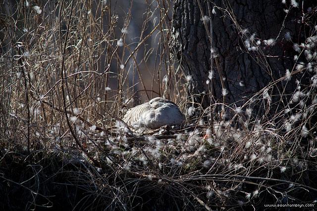 Goose on nest, Doughnut Island, Toronto Islands