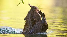 Beaver, South Island, Toronto Islands