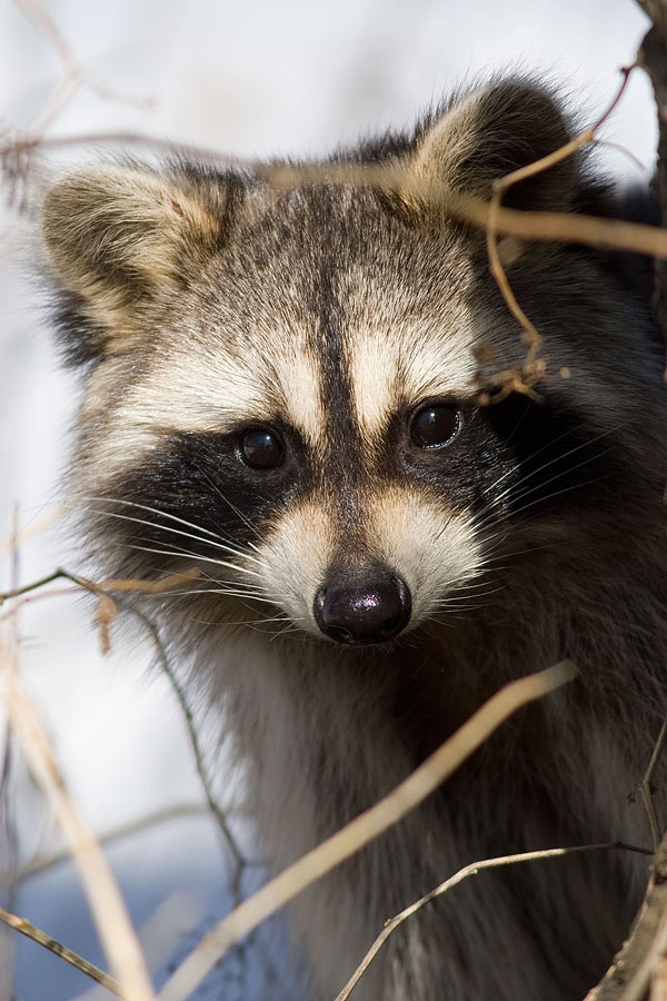 Racoon portrait, Centre Island, Toronto Islands