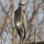 Great blue heron, Centre Island, Toronto Islands