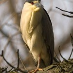 Black-crowned night heron, Centre Island, Toronto Islands