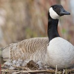 Canada goose on nest, Hanlan's Point, Toronto Islands