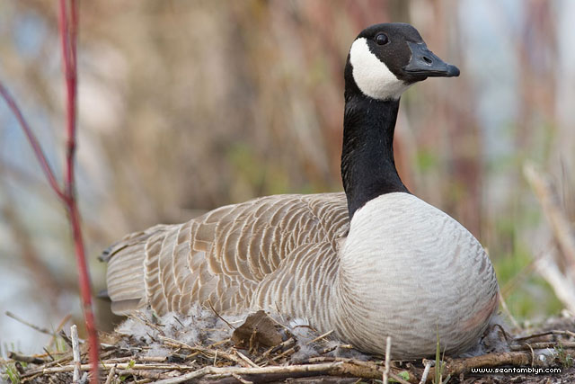Canada goose on nest, Hanlan's Point, Toronto Islands