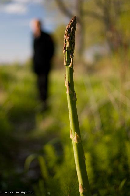 Wild asparagus, Ward's Island, Toronto Islands