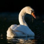 Mute swan, Centre Island, Toronto Islands