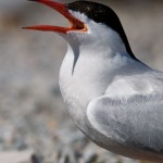Common tern, Hanlan's Point, Toronto Islands