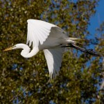 Great egret in flight, Doughnut Island, Toronto Islands