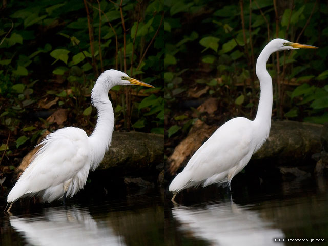 Feeding great egret, Snake Island, Toronto Islands
