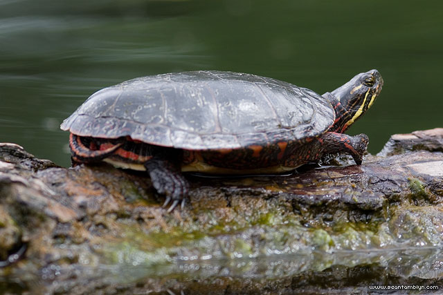 Malformed painted turtle, Doughnut Island, Toronto Islands