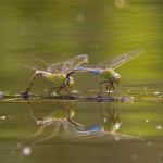 Mating dragonflies, Doughnut Island, Toronto Islands