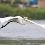 Great egret, Long Pond, Toronto Islands