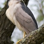 Sleeping black-crowned night heron, Doughnut Island, Toronto Islands
