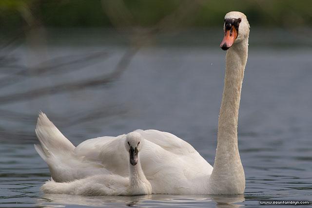 Mute swan and cygnet, Centre Island, Toronto Islands