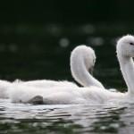 Juvenile mute swans, Centre Island, Toronto Islands