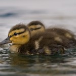 Mallard ducklings, Algonquin Island, Toronto Islands