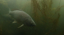 Carp, Snug Harbour, Toronto Islands