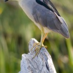 Black-crowned night heron, Doughnut Island, Toronto Islands