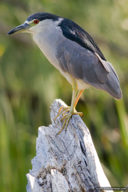 Black-crowned night heron, Doughnut Island, Toronto Islands