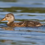 Adolescent mallard duck, Snake Island, Toronto Islands