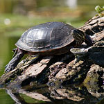 Reflected painted turtle, Snug Harbour, Toronto Islands