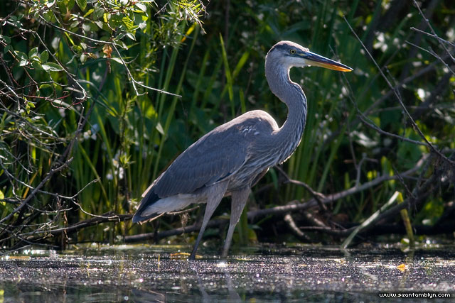 Great blue heron, Doughnut Island, Toronto Islands