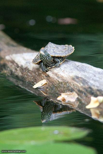 Baby map turtle, Snake Island, Toronto Islands