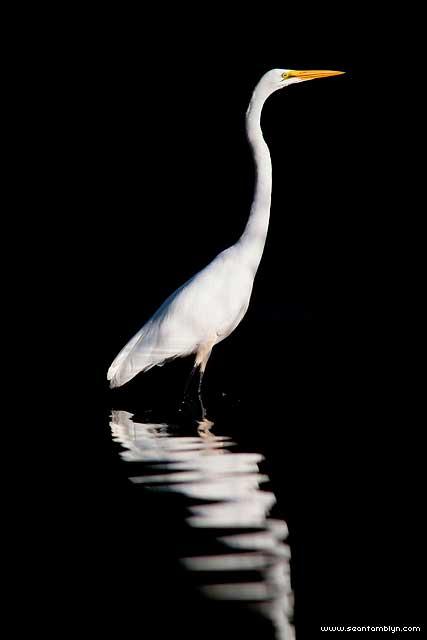 Great egret, Hanlan's Point, Toronto Islands