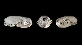 Mink skull, Sans Souci, Georgian Bay