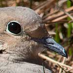 Mourning dove, Algonquin Island, Toronto Islands
