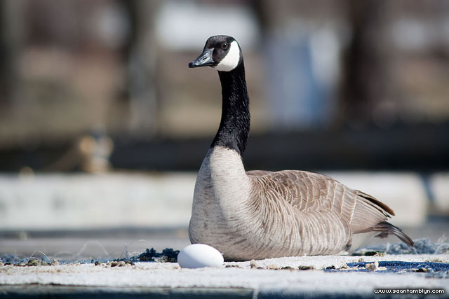Canada goose and egg, Hanlan's Point, Toronto Islands