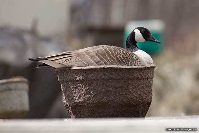 Canada goose nesting in pot, Algonquin Island, Toronto Islands
