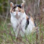 Semi-wild cat, South Island, Toronto Islands