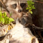 Juvenile racoon, Hanlan's Point, Toronto Islands