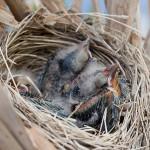 Blackbird chicks in nest, Hanlan's Point, Toronto Islands