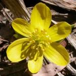 Early spring flower, Ward's Island, Toronto Islands