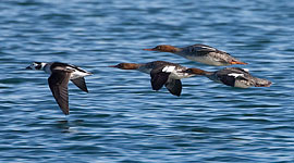 Mixed-duck formation, Eastern Gap, Toronto Islands
