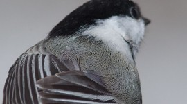 Chickadee feathers, Centre Island, Toronto Islands