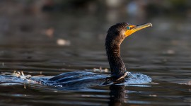 Cormorant, Centre Island, Toronto Islands