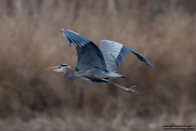 Great blue heron, Doughnut Island, Toronto Islands