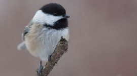 Winter Chickadee, Centre Island, Toronto Islands