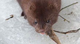 Feeding mink, South Island, Toronto Islands