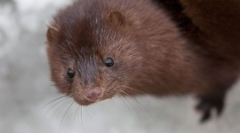 Mink portrait, South Island, Toronto Islands