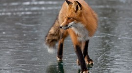 Red fox, Algonquin Island, Toronto Islands