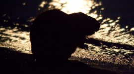 Beaver in moonlight silhouette, Ward's Island, Toronto Islands