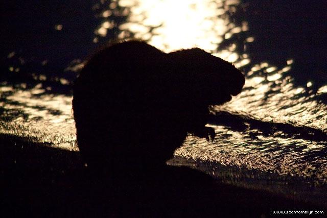 Beaver in moonlight silhouette, Ward's Island, Toronto Islands