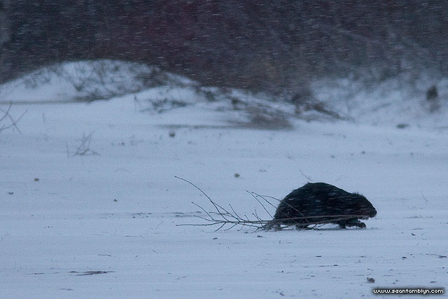 Beaver in winter, Ward's Island, Toronto Islands