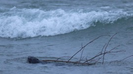 Beaver in winter surf, Ward&#039;s Island, Toronto Islands